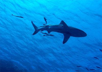 [스쿠버다이빙] 수밀론, 블랙 팁 상어와 함께 놀아보자 ①