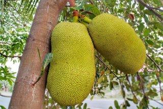 거리의 과일, 잭푸르트